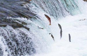 Cá sống khi lội ngược dòng